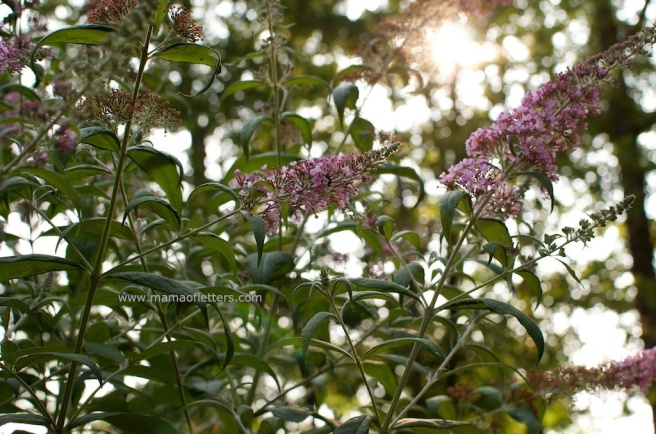 butterfly bush mol