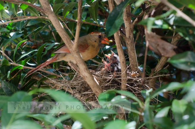 mama feeding chicks 6.21.15-1