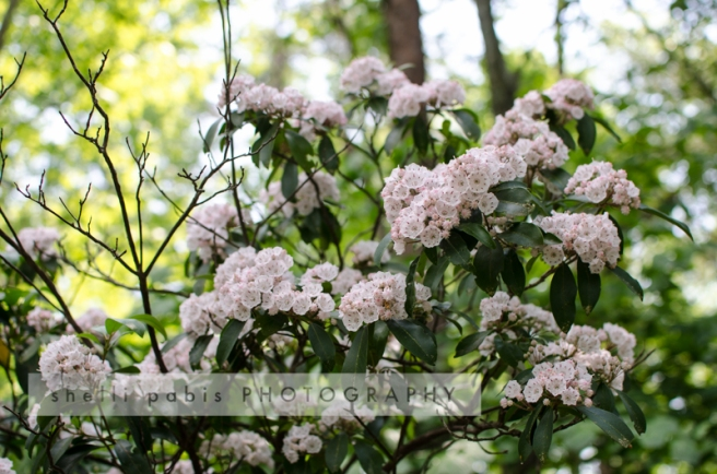 mountain laurel-1
