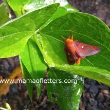 oakworm moth in the garden