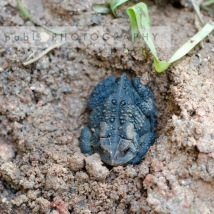 American toad in our yard