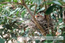 cardinal nest outside our window