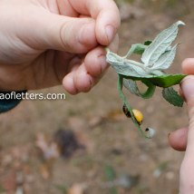 Ladybug emerges from pupa
