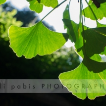 Gingko Bilboa - one of my favorite trees