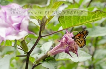 monarch on migration