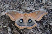 polyphemus moth in our yard