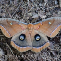 polyphemus moth in our yard