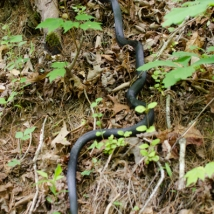 We love snakes! black rat snake
