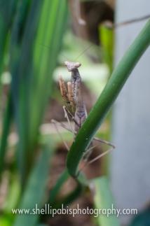 praying mantis in our yard