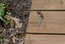 blue tailed skink in our yard